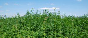 medical-marijuana-field